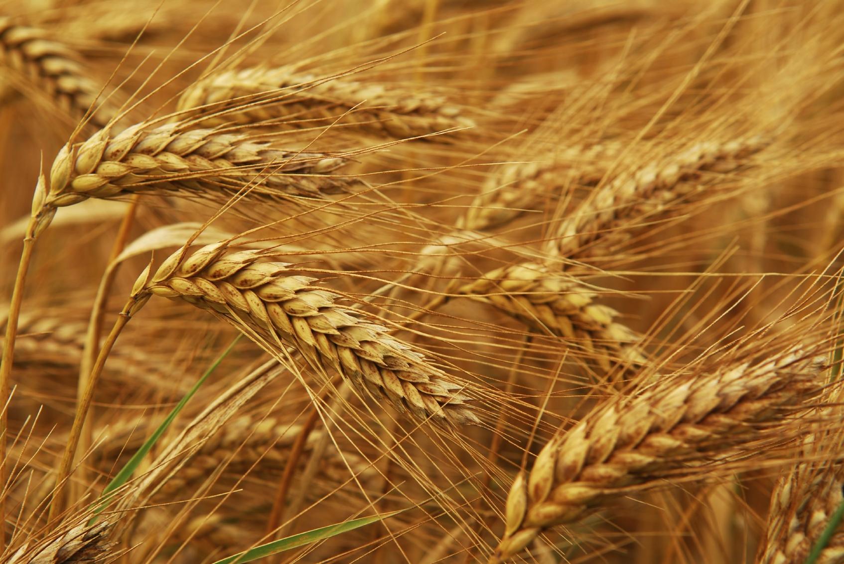 Golden wheat growing in a farm field, closeup on ears